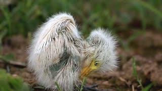 Lonely baby egret