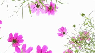 Low angle view of colorful cosmos flowers swaying in the wind
