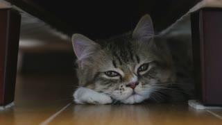 Persian tabby kitten lying under the bed