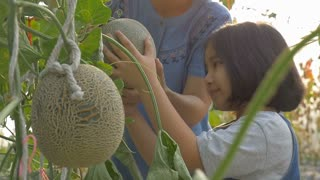 Slow motion of Happy Asian girl planting melon with her mother in the melon green house, Tilt up shot