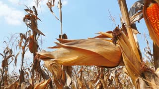 Slow motion of yellow dry corn on the field, Pan shot