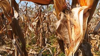 Slow motion of yellow dry corn on the field, tilt up camera
