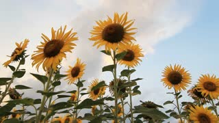 Sunflower field with windy and cloudy
