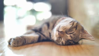 4K Cute tabby cat sleeping with sweet dream at home, Tilt up shot