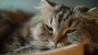 4K Cute tabby cat sleeping with sweet dream at home
