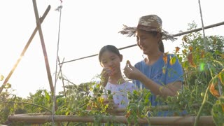 4K : Happy Asian girl and her mother picking tomatoes together in the farm