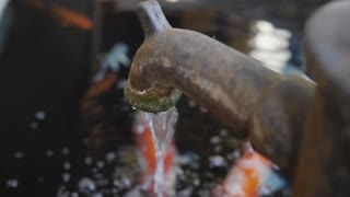 4K Japanese Fancy Carp are swimming in a pond