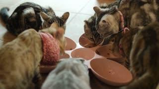 4K Lovely Group of kitten cat eating cat food, feeding cat with dry feline nutrition on floor