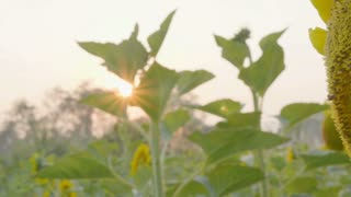 4K Slow motion of Bee working on Sunflower