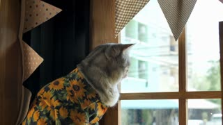 4K Tabby sitting front of the window and looking outside
