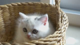 Slow motion of funny tabby kittens breed Scottish Fold playing in the basket