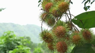 Young Asian farmer holding rambutan on his farm in Thailand