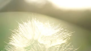 One white fluffy dandelion on the green grass in the sun