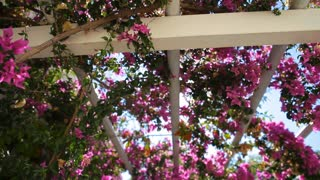 pink bougainvillea against the sky.