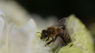 Close Up Of Bee On The Daisy Flower, A Bee Collects Nectar In The Daisy Flowers , Bee Pollinating A Flower. Breeze Moves The Petals Of A Flower. Bees Are Flying Insects