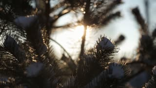 Sun rays, spruce branches with snow close-up
