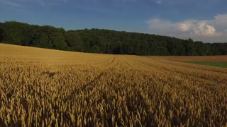 Aerial view of golden wheat field under blue sky with the tres on the background
