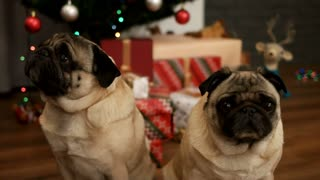 Portrait of couple of pug dog sitting on the floor near Christmas tree with gift box. Close up.