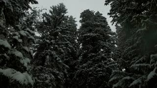 Snowfall covering fir trees in mountains. Snowfall in the mountains with fir trees. View from below.