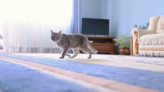 A cat walking on a carpet in a bright blue room
