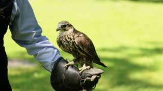 Close-up of saker falcon (Falco cherrug) perched on the glove.