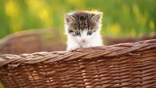 Cute kitty with blue eyes jumping from basket.