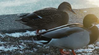 Duck on the ice freezing pond in winter due to snow