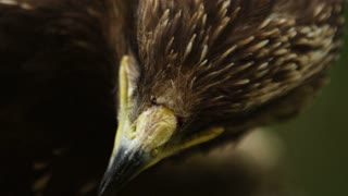 Epic close-up macro portrait of a predator bird blinking its eyes and has opened beak.
