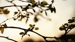 Evening in the village , view of a cherry tree branch.