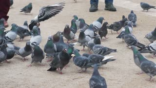 Family feeding flock of pigeons on town square. HD 1080i.
