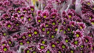 Purple blooming chrysanthemum flowers on a store.