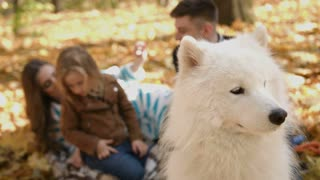 Close up video of white samoyed dog with family on blur background in the park