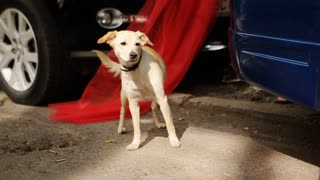 White thai dog run on the street with car background, side view picture