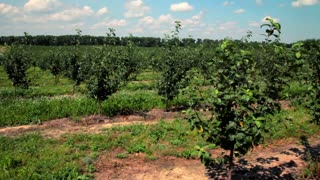 Apple orchard. Rows of apple trees. Apple farm landscape. Fruit orchard. Apple garden. Agriculture landscape. Field with green apple trees at apple orchard. Fruit orchard in summer. Organic food cultivation