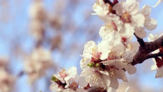 Apricot blossom. Closeup. Apricot flowers on branch of apricot tree. Blossom of white and pink flowers. Macro. Spring background. Spring flowers in sunlight. Spring garden. Blooming apricot tree
