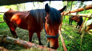 Horse eat behind wood fence. Horse looking at camera. Closeup of horse head. Young horses at horse farm. Horse face. Horse muzzle close up. Domestic animal at farm