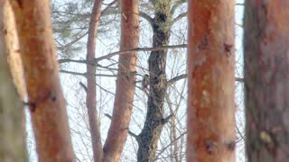 Bird in forest. Great spotted woodpecker knocking on tree. Little bird on tree. Autumn forest. Woodpecker beautiful wildlife bird. Bird knocking on wood in thick autumn forest. Pine forest