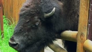 Bison behind fences in zoo. Bison head. Big wild animal with brown fur in european zoo. Bison bonasus with big horns in outdoors in zoo near fences. Powerful brown american buffalo