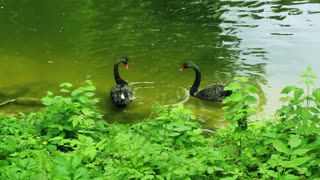 Black swans swim in zoo pond with green water. Swans couple with red peaks dabbling in zoological park lake. Beautiful swans with black feathers and red peaks swim in zoo lake. Black wings of swans
