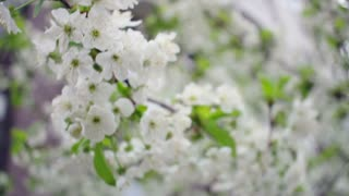 Blossoming cherry tree. Cherry flower on tree. Wind sways cherry blossom. Branch with cherry flowers blooming in spring. White blossoming cherry flower in spring. White cherry flowers. Cherry blossom