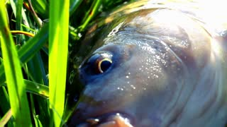 Fish with hook in mouth. Fishing. Catching river fish  in lake. Fishing on rod with fishing line and hook. Carp fish closeup on green grass. Carp fishing. Freshwater fishing. Caught fish lying on riverside