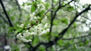 Cherry blossom. Cherry flower on wind. Spring flower blooms on cherry tree. Closeup of cherry branch. White blossom and petal. White flower blooming on green tree. Spring blossom. Blossoming cherry