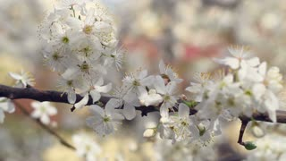 Cherry branch with blossoming flowers. Panorama on young spring branch with cherry flowers. Macro. Blooming fresh blossom tree.  Closeup. White flowers on branch of cherry tree in spring. Springtime