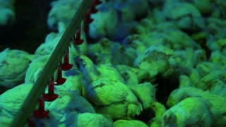 Chickens feeding in poultry farm. Breeding birds in agriculture industry