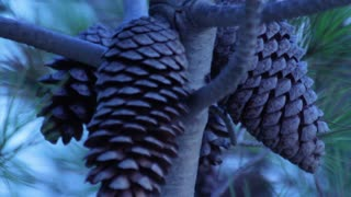 Closeup of pine cones on pine tree. Christmas tree