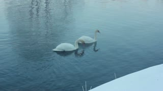 Couple of white swans swimming on water. Fog over cold river. Misty river in winter park. Snow covered riverbank. Swimming birds. Birds couple on lake. White swans on water surface. Cold river