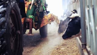 Cows feeding process on farm. Cows in barn on modern dairy farm. Calf feeding on milk farm. Livestock in barn. Farm tractor. Agricultural equipment. Agriculture industry