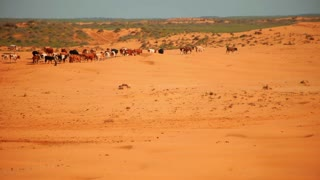Desert farm. Herd of cows in desert. Animals on sand dunes. Agriculture in Africa. African ranch. Desert landscape with livestock. Group of cows in desert. Agriculture background. Cows grazing in desert