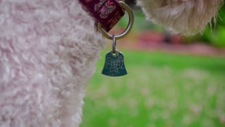 Dog collar tag. Close up of blue metal tag on collar. White poodle with identity dog tag. Home address of lovely pet on identification card. Dog with collar