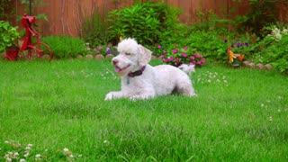 Dog laying down. White Labradoodle lying on green grass. Calm dog lying at backyard garden. White Labradoodle resting on green lawn. Cute animal on grass